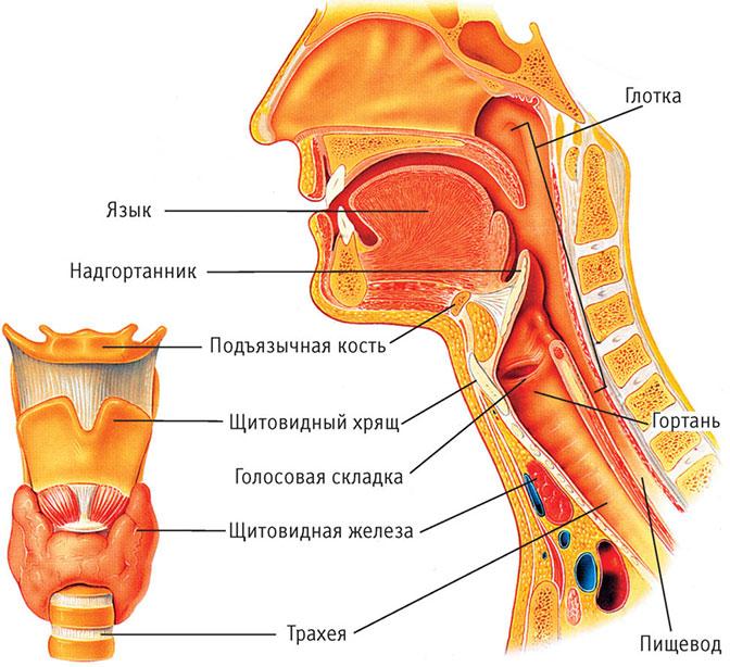 Строение горла и гортани человека
