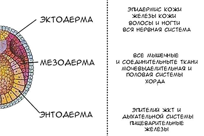 Эктодерма, Мезодерма, Эндодерма
